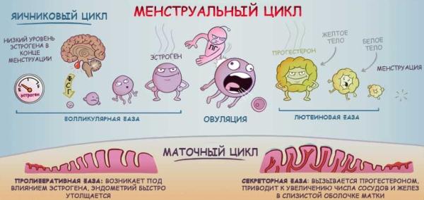 Менструальный цикл и все, что нужно знать о нем