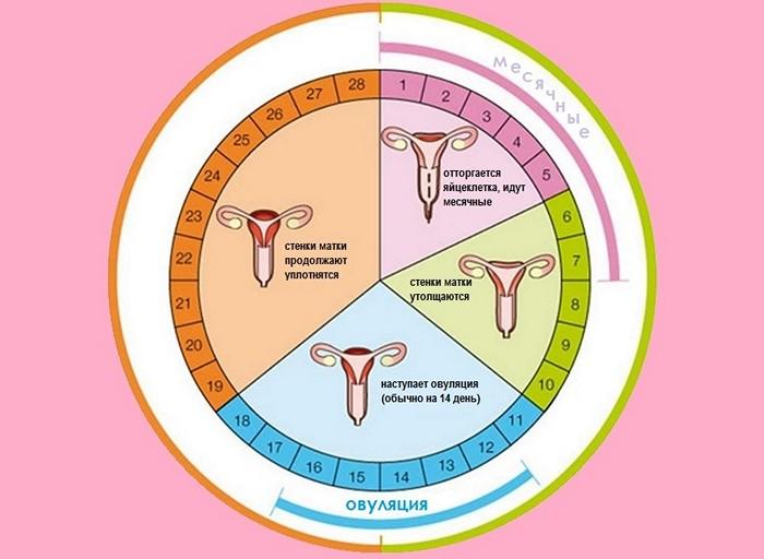 Менструационный цикл фото