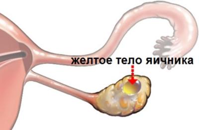 Желтое тело в яичнике – что это такое