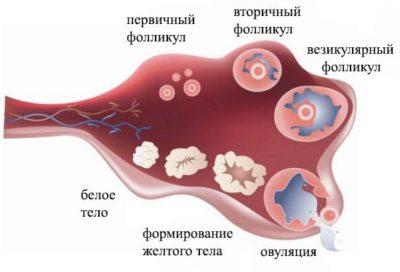Овуляция – выход яйцеклетки из фолликула